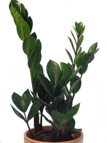 zimmerpflanzen f r den schattigen standort pflanzenklick. Black Bedroom Furniture Sets. Home Design Ideas