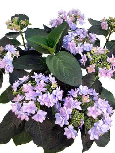 hortensien blau violett pflanzenklick. Black Bedroom Furniture Sets. Home Design Ideas