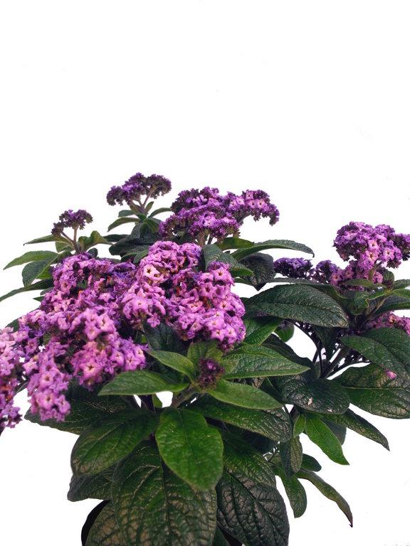 vanilleblume violett pflanzenklick. Black Bedroom Furniture Sets. Home Design Ideas