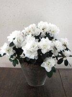 Zimmerpflanzen mit der bl tenfarbe wei pflanzenklick - Rankpflanzen zimmer ...