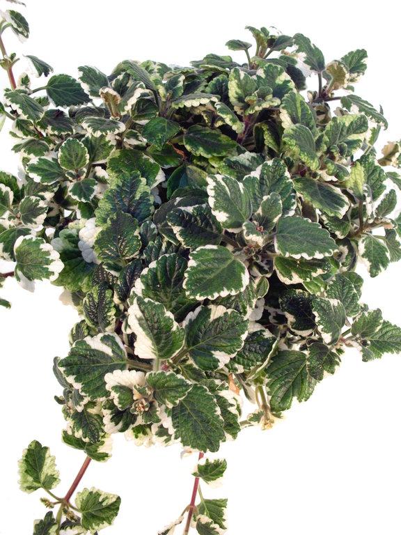 mottenkoenig pflanzenklick