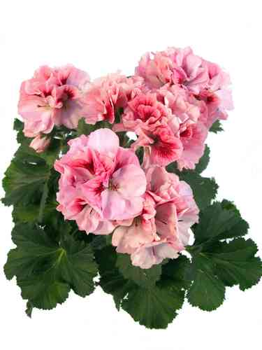 balkonpflanzen pink rosa pflanzenklick. Black Bedroom Furniture Sets. Home Design Ideas