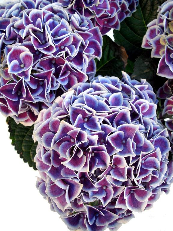 hortensie midi blau wei pflanzenklick. Black Bedroom Furniture Sets. Home Design Ideas