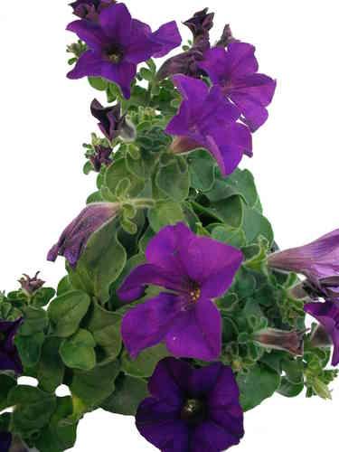 blühende zimmerpflanzen bestimmen