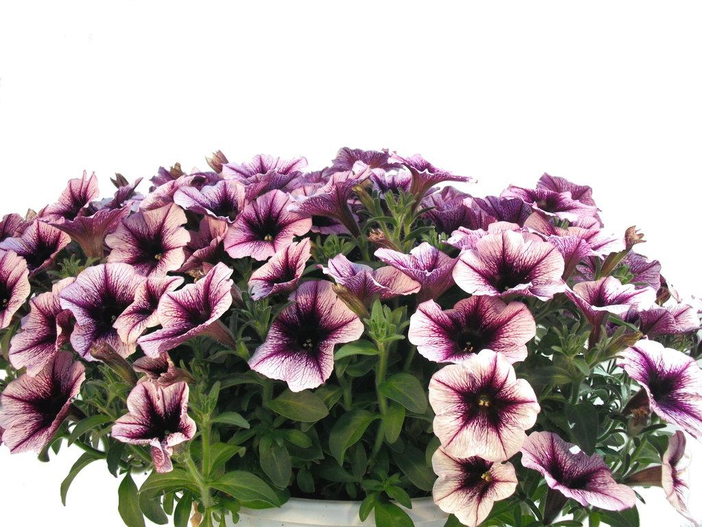 petunien ampel violett wei pflanzenklick. Black Bedroom Furniture Sets. Home Design Ideas