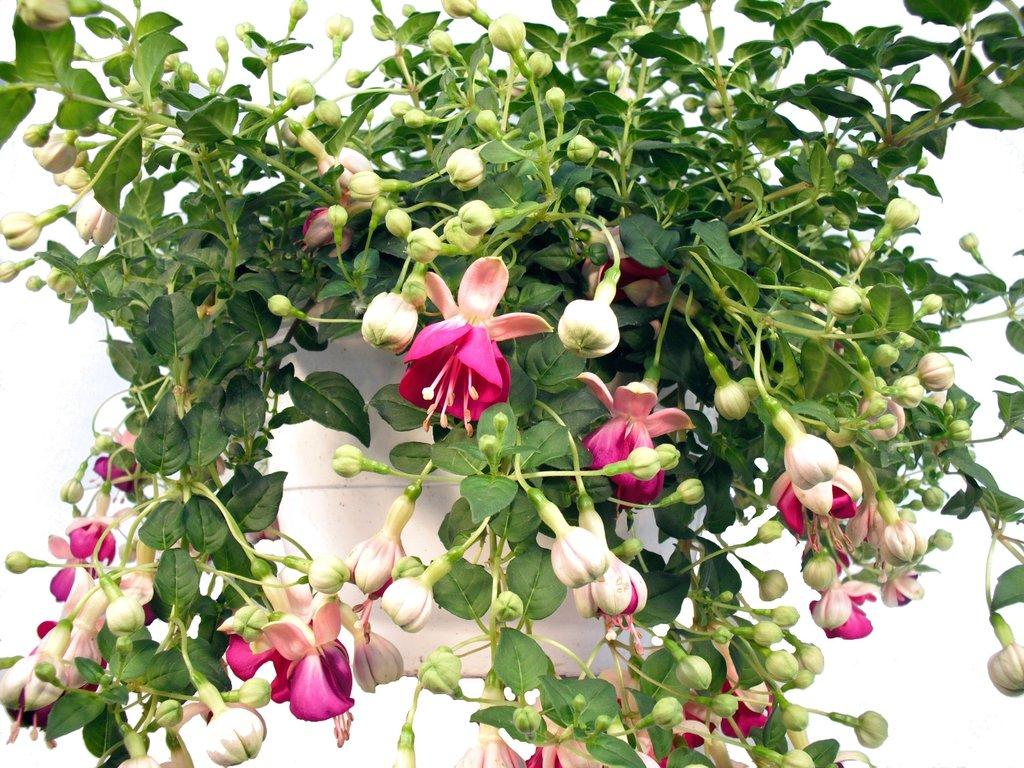 fuchsie ampel pink pflanzenklick. Black Bedroom Furniture Sets. Home Design Ideas