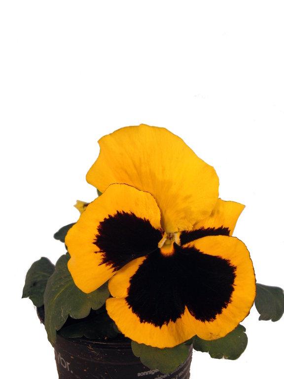 stiefm tterchen gelb mit auge pflanzenklick. Black Bedroom Furniture Sets. Home Design Ideas