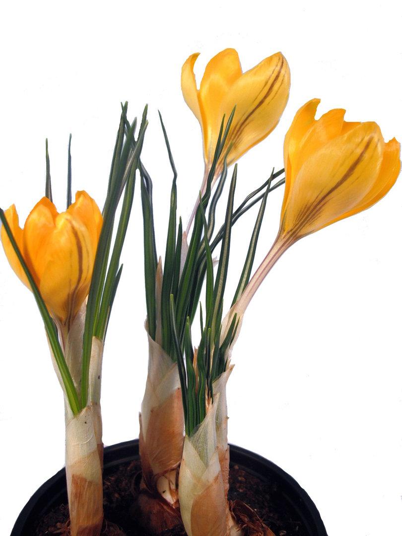 krokus gelb orange pflanzenklick. Black Bedroom Furniture Sets. Home Design Ideas