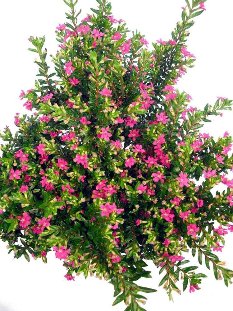 Myrte Pink Pflanzenklick