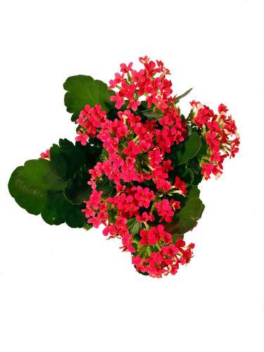 zimmerpflanzen mit den bl tenfarben orange rot pflanzenklick. Black Bedroom Furniture Sets. Home Design Ideas