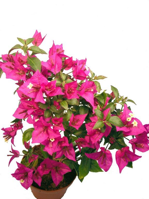 Drillingsblume pink pflanzenklick - Rankende zimmerpflanzen ...