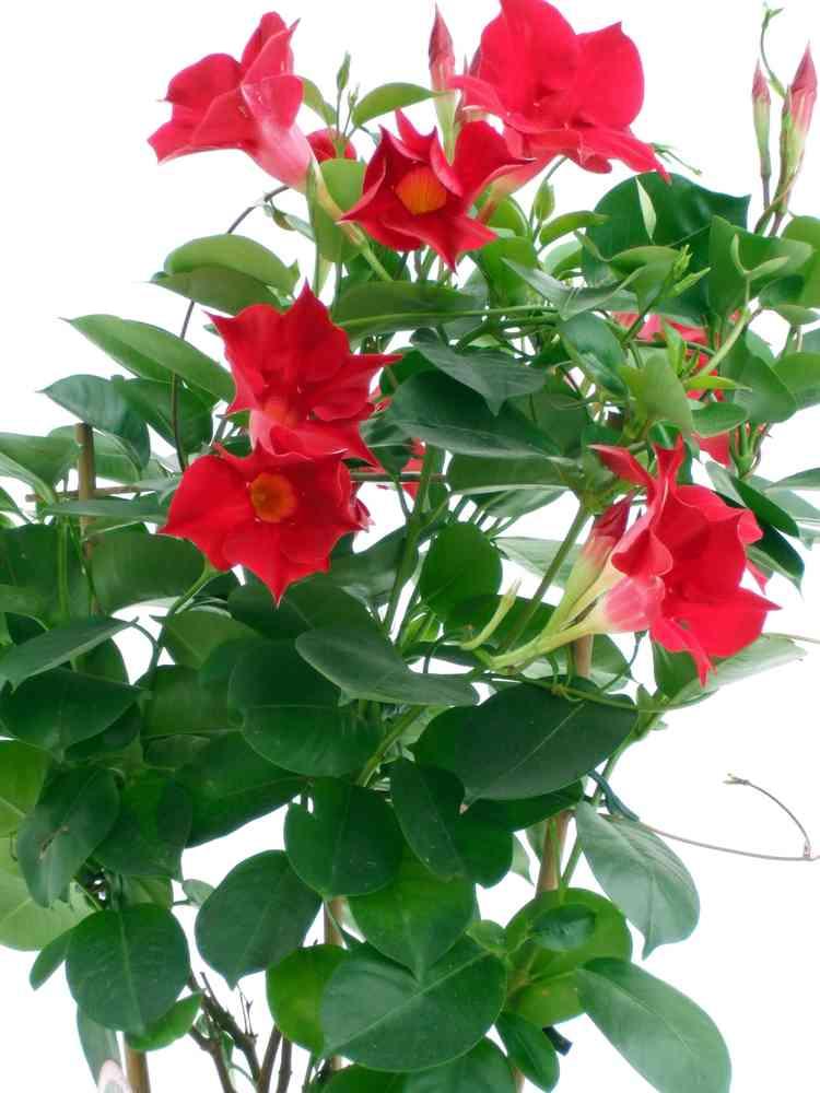 Dipladenia Pflanzenklick