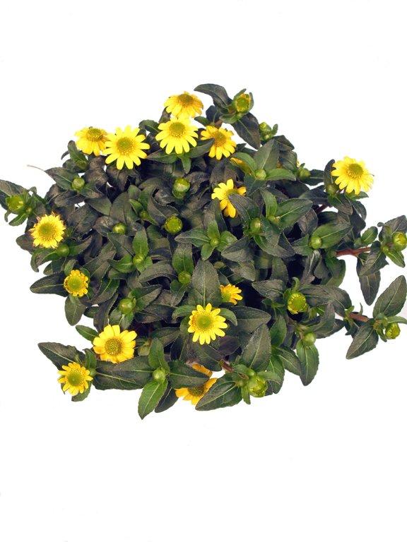 husarenknoepfchen sunnystars yellow spot gelb pflanzenklick