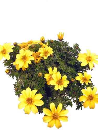 Balkonpflanzen Bienenfreundlich Pflanzenklick