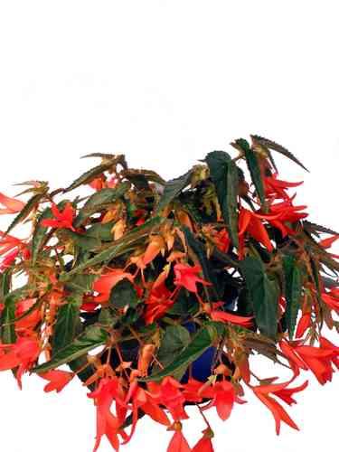 Balkonpflanzen Orange Rot Pflanzenklick