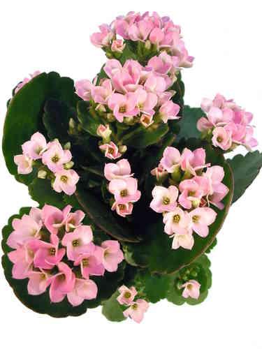 Zimmerpflanzen Mit Den Blutenfarben Pink Rosa Pflanzenklick