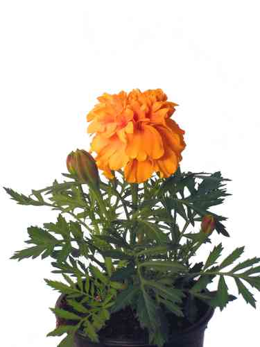 Studentenblume orange