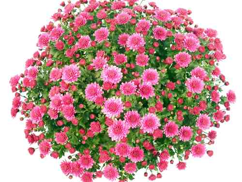 Chrysanthemenbusch pink
