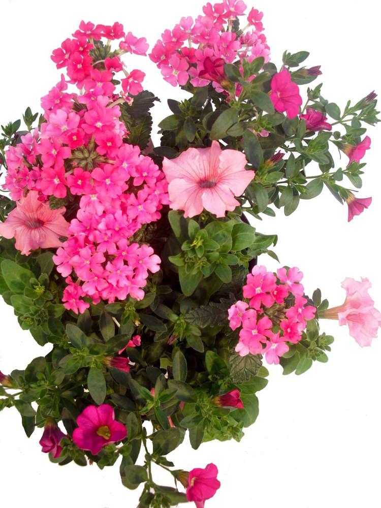 Balkonpflanzen Set Trio Pink Miracle Pflanzenklick