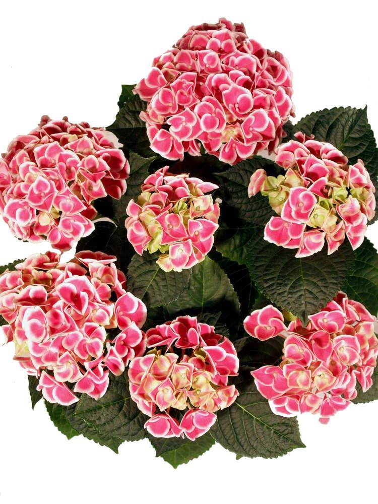 Bluhende Hortensie Tivoli Pink Weiss Pflanzenklick