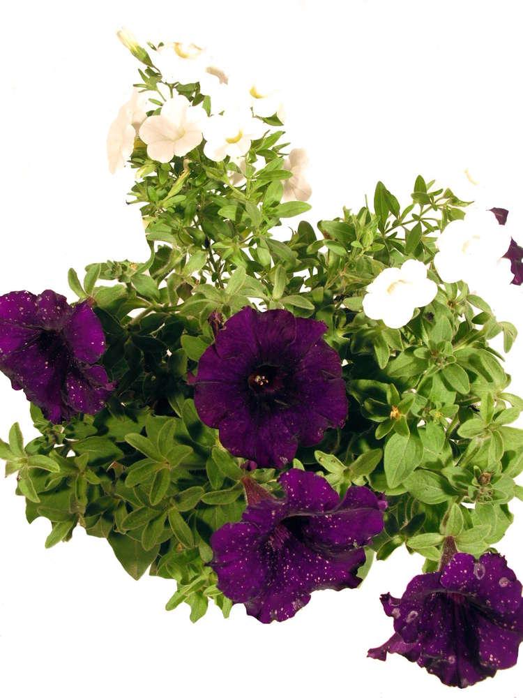 Balkonpflanzen Set Twin Violett Weiss Pflanzenklick