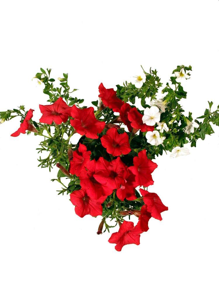 Balkonpflanzen Set Twin Rot Weiss Pflanzenklick